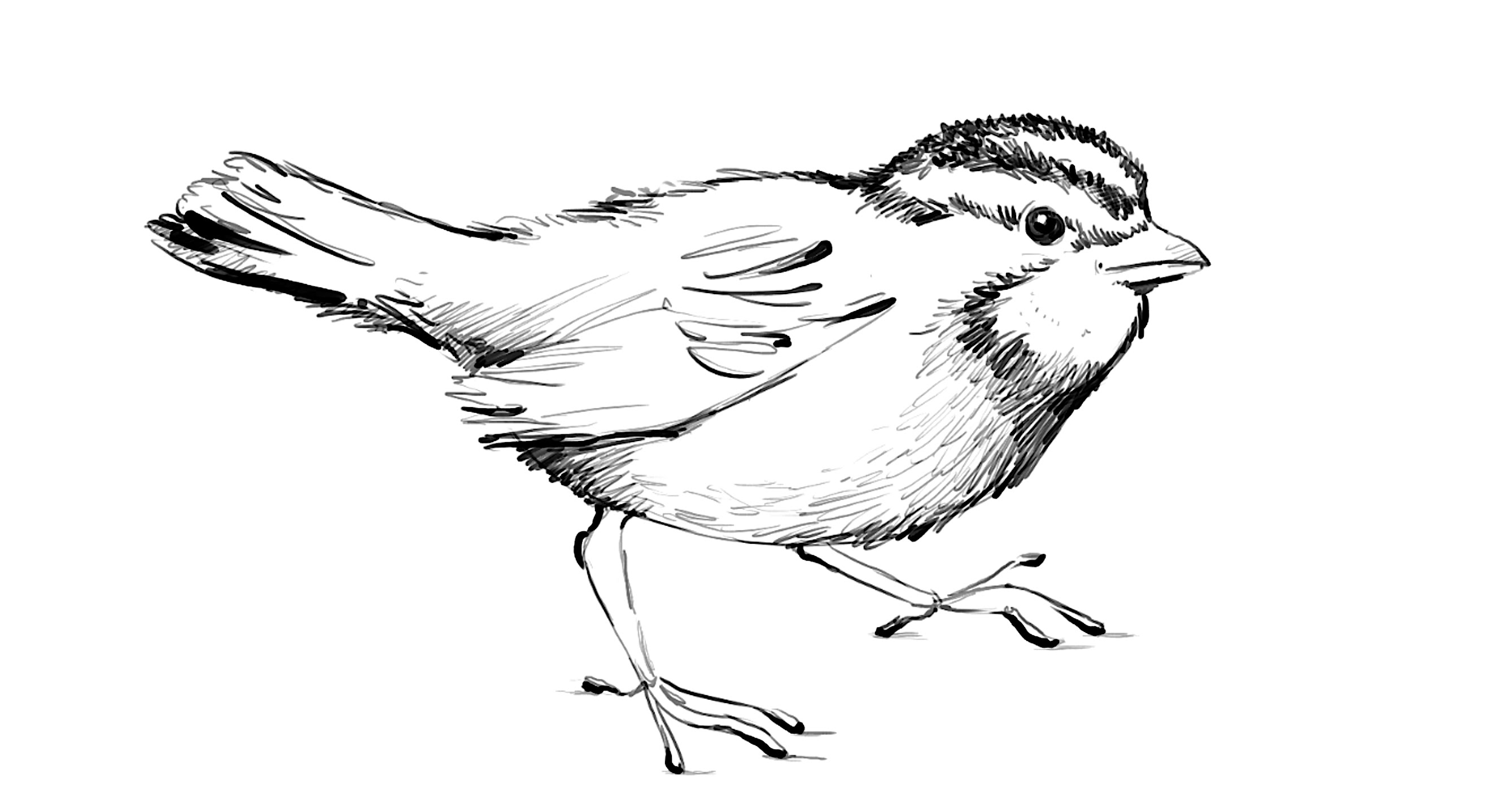 how to draw a sparrow bird step by step sparrow bird drawing at getdrawings free download how by to bird step a draw sparrow step