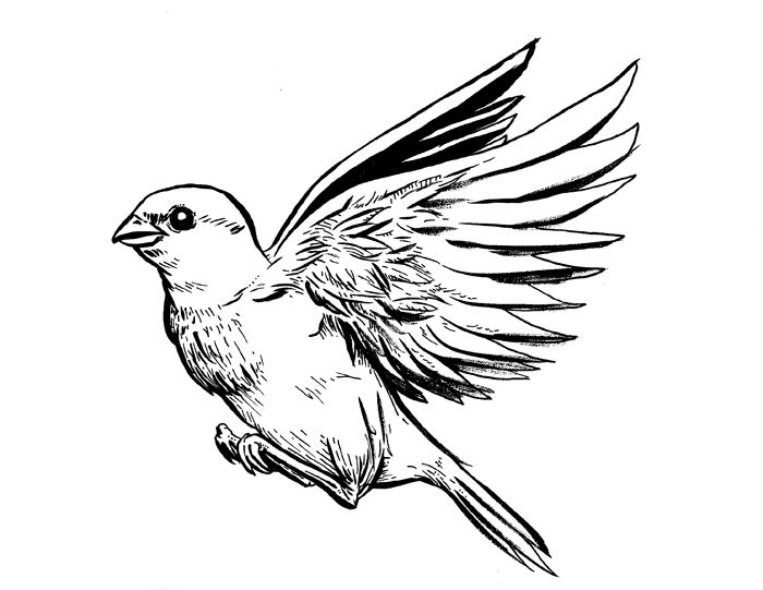 how to draw a sparrow bird step by step sparrow bird drawing at getdrawings free download to step draw sparrow how a bird step by