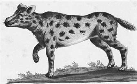 how to draw a spotted hyena first authentic drawing of a spotted hyena attributed to draw spotted how hyena a to