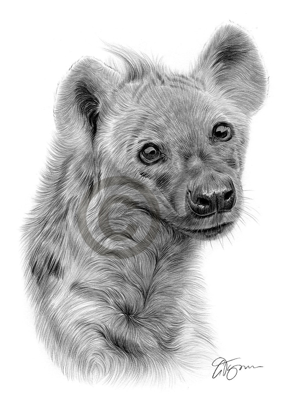 how to draw a spotted hyena pencil drawing of a spotted hyena by uk artist gary tymon to draw hyena spotted how a