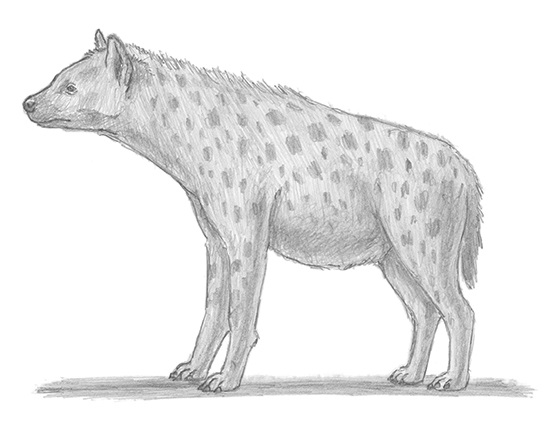 how to draw a spotted hyena special winged hyena digital drawing how hyena draw to spotted a