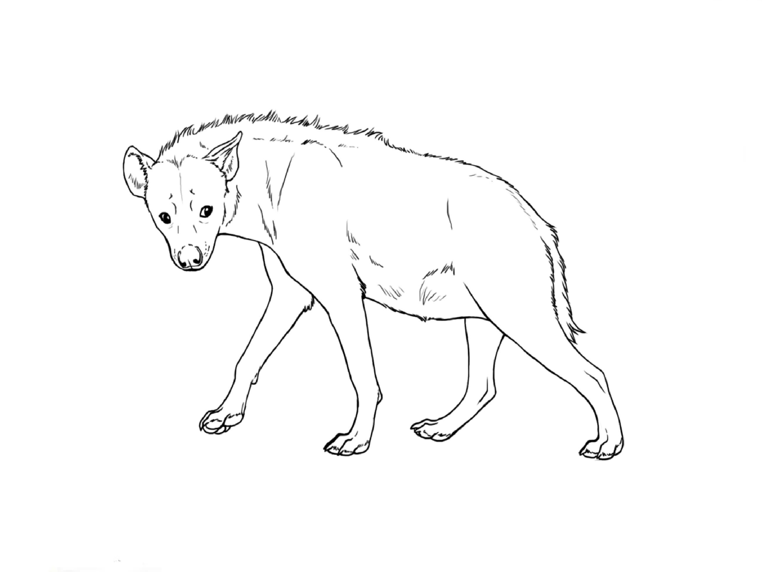 how to draw a spotted hyena spotted hyena drawing at getdrawings free download how a spotted to hyena draw