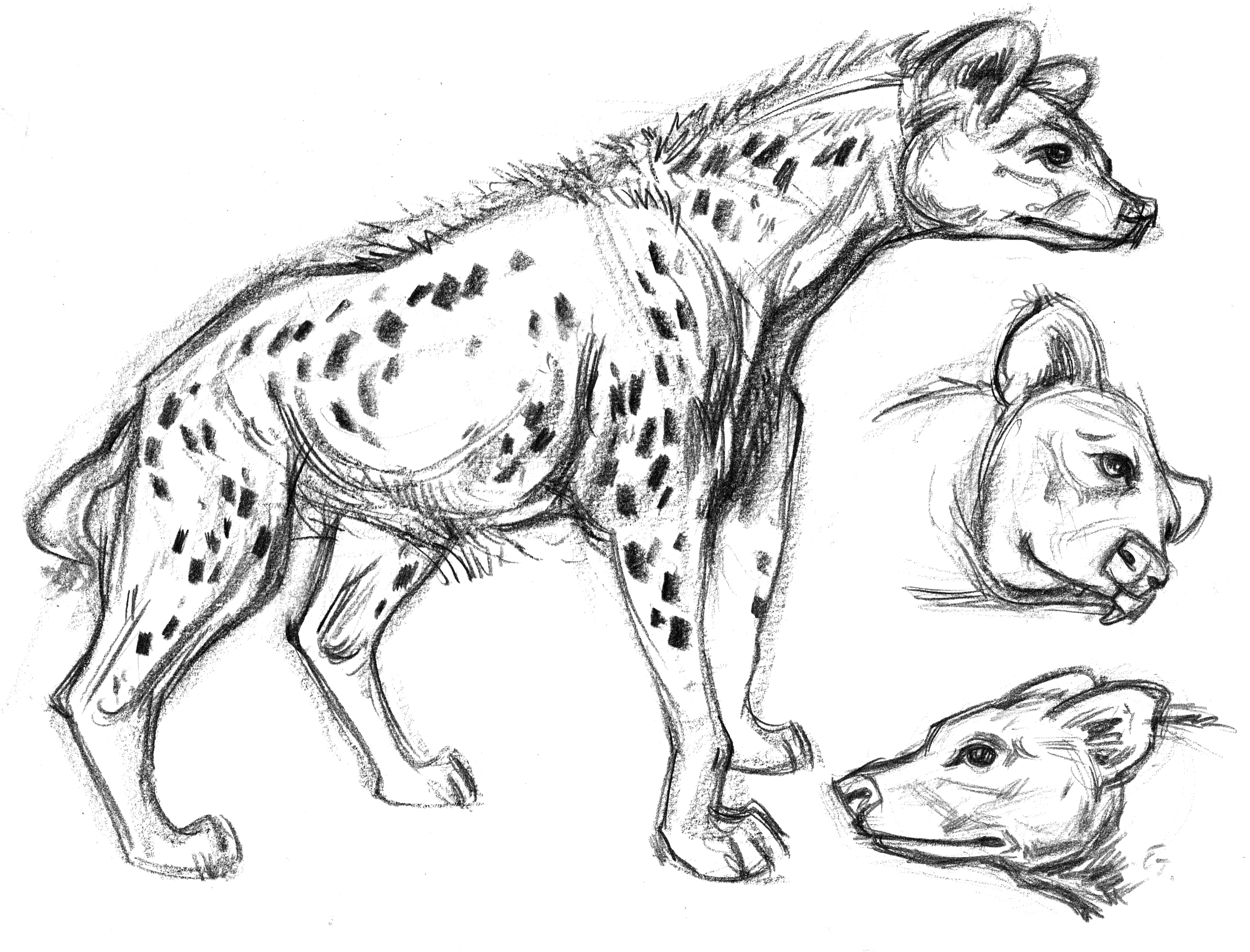 how to draw a spotted hyena spotted hyena drawing at getdrawings free download to hyena spotted a draw how