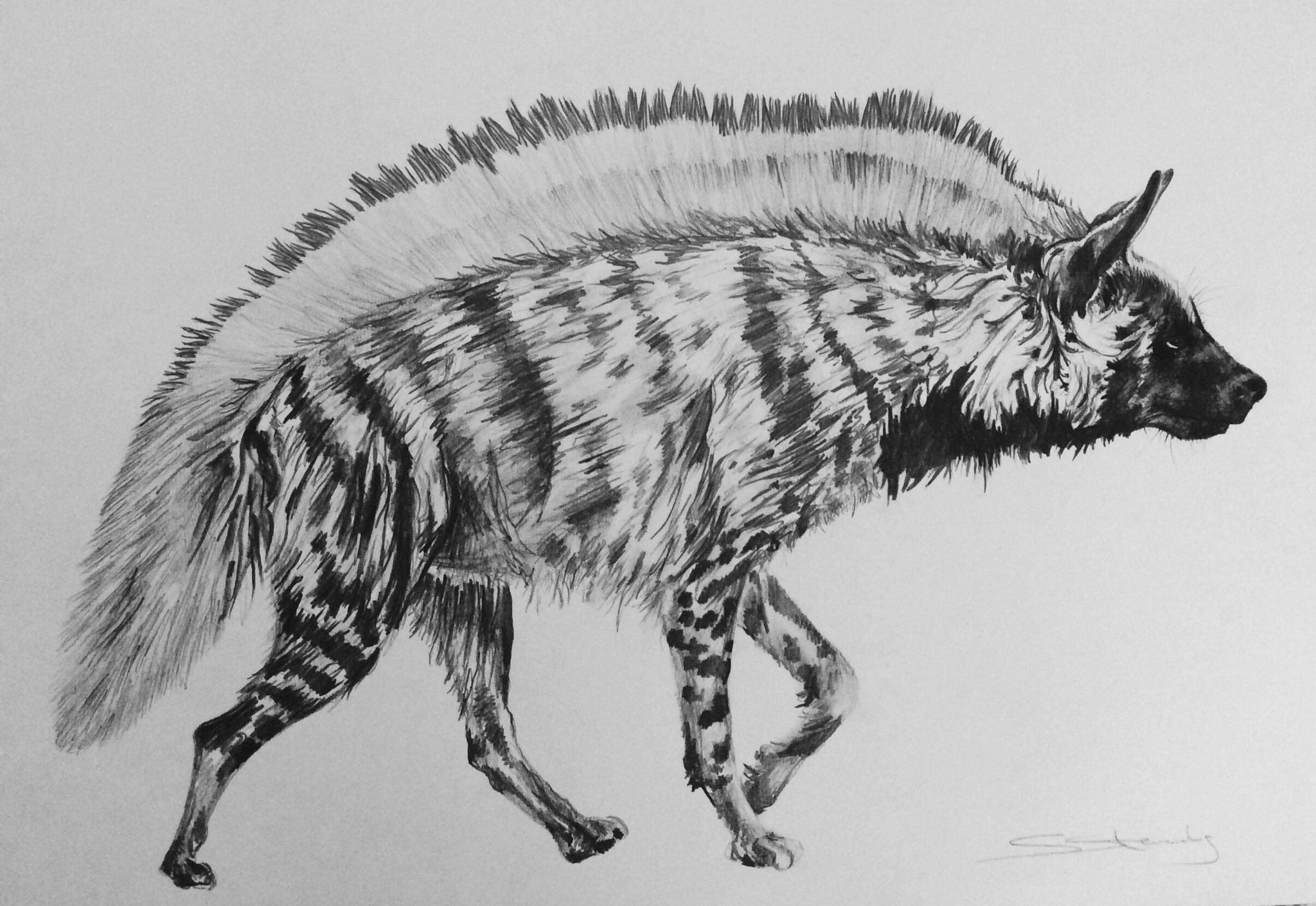 how to draw a spotted hyena striped hyena animal art striped hyena hyena to spotted a draw hyena how
