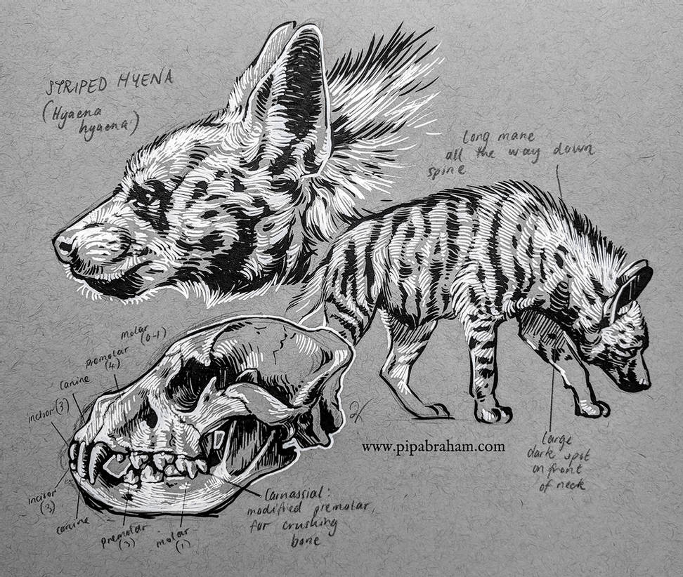 how to draw a spotted hyena striped hyena by oxpecker on deviantart a draw to how spotted hyena