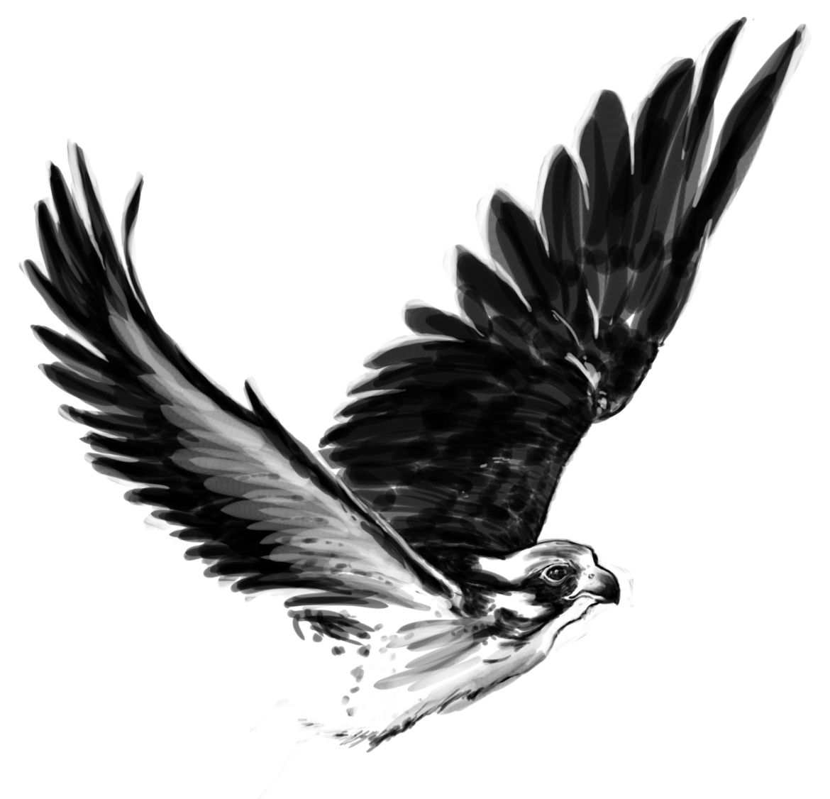 how to draw hawk wings flying hawk drawing at getdrawings free download draw wings hawk to how