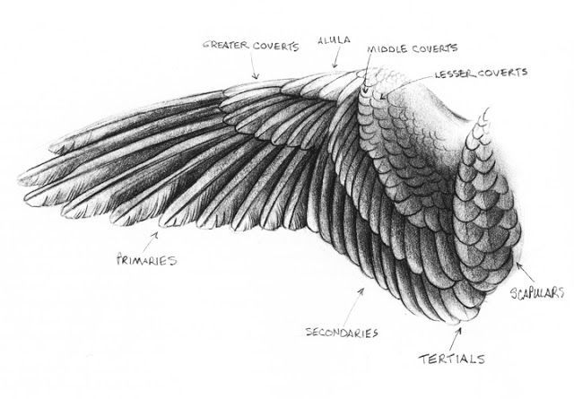 how to draw hawk wings hawk harris drawing lesson draw to wings hawk how