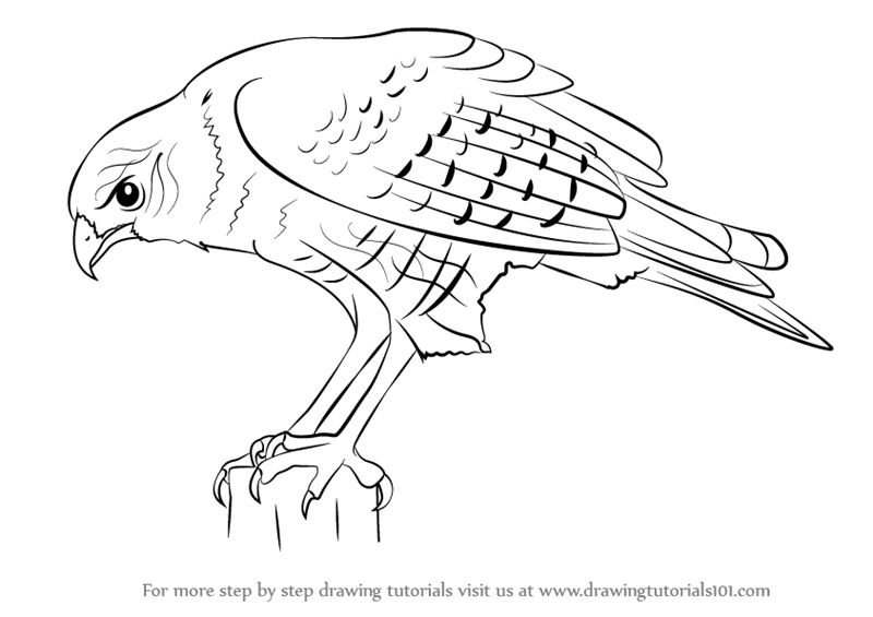 how to draw hawk wings how to draw a bird wing step by step birds animals wings how to hawk draw