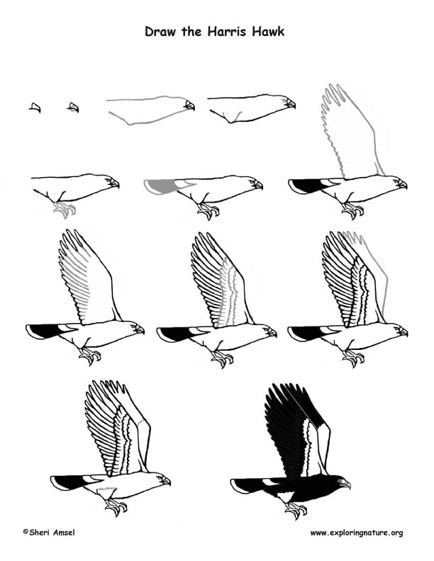 how to draw hawk wings how to draw falcons google search falcon tattoo draw hawk wings how to