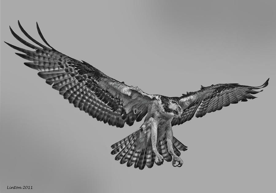 how to draw hawk wings library of hawk wing picture transparent library png files wings how draw to hawk