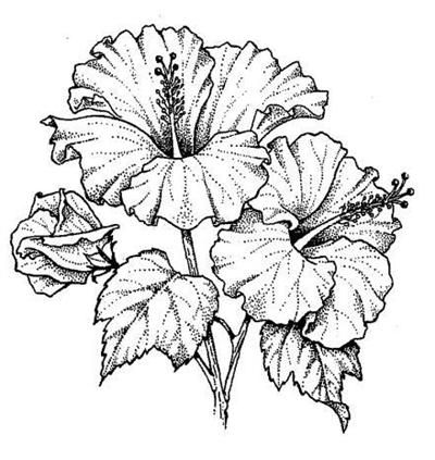 how to draw hibiscus hibiscus flower drawing step by step at getdrawings free hibiscus draw to how