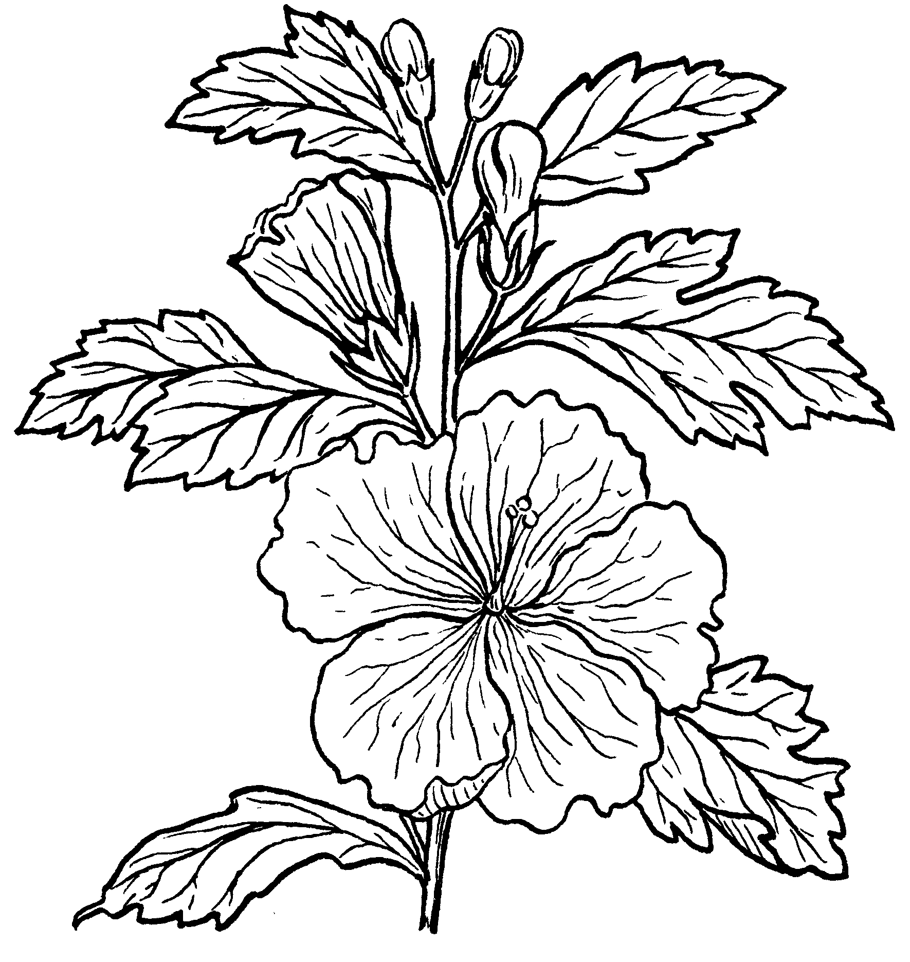 how to draw hibiscus hibiscus flower drawing step by step at getdrawings free hibiscus to draw how