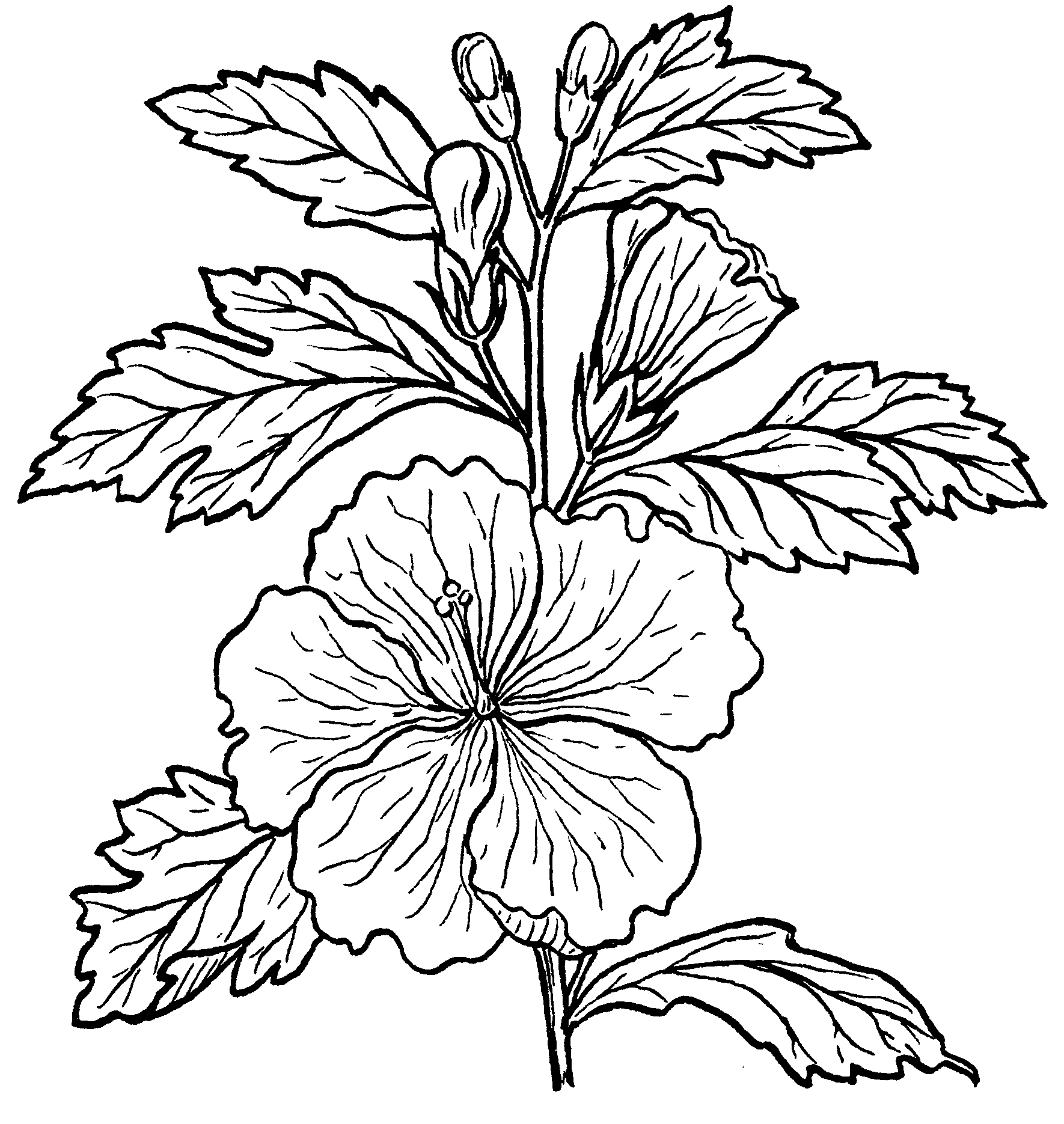 how to draw hibiscus hibiscus flower drawing step by step at getdrawings free how to hibiscus draw