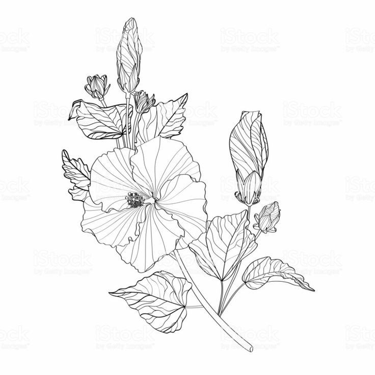 how to draw hibiscus hibiscus flowers branch drawing and sketch with line art how draw hibiscus to