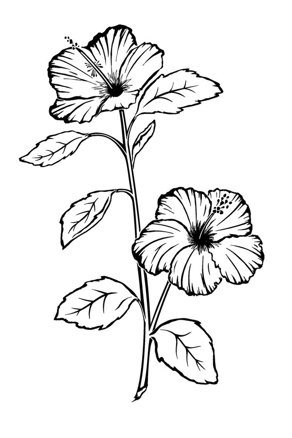how to draw hibiscus hibiscus pencil drawing at getdrawings free download how draw hibiscus to