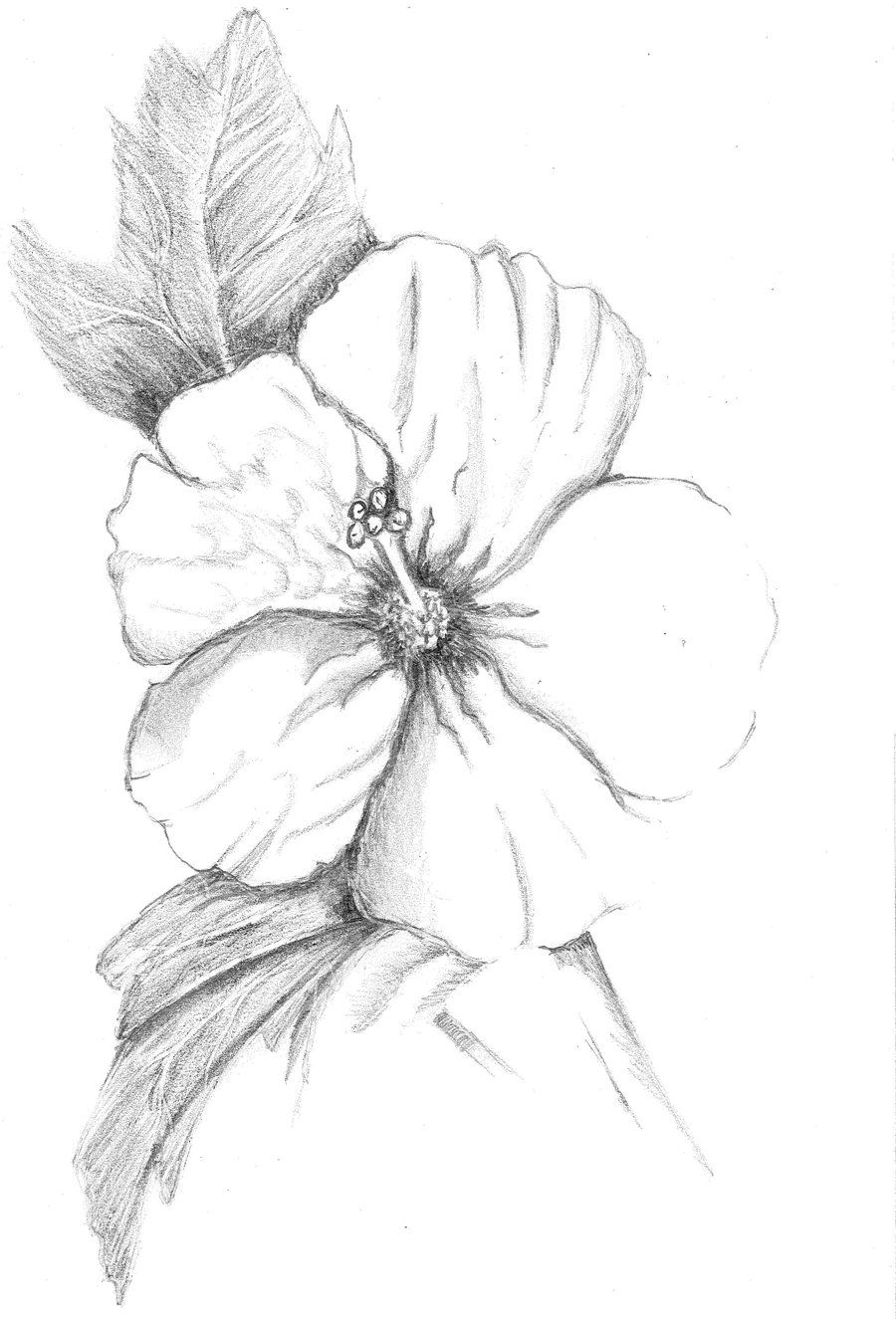 how to draw hibiscus image result for hibiscus drawing flower sketches how draw hibiscus to