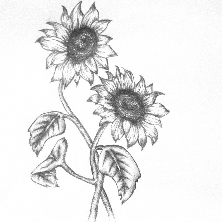 how to draw sunflowers 2020 的 how to draw a sunflower easy step by step drawing sunflowers how draw to