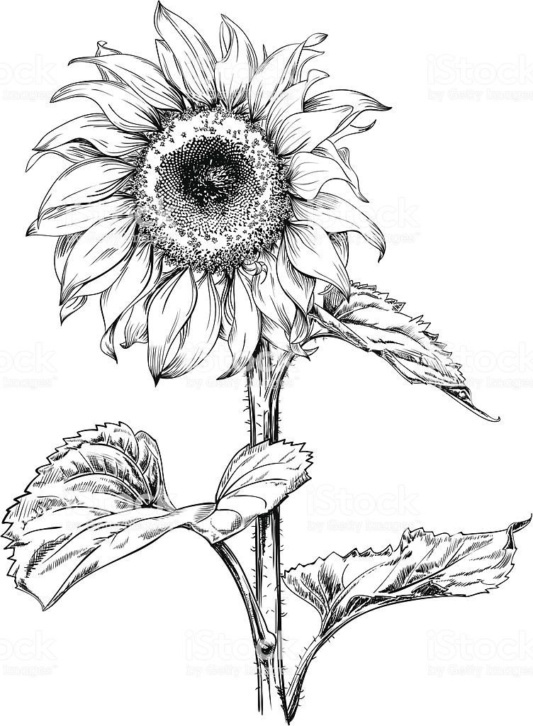 how to draw sunflowers how to draw sunflower free transparent clipart clipartkey how to draw sunflowers