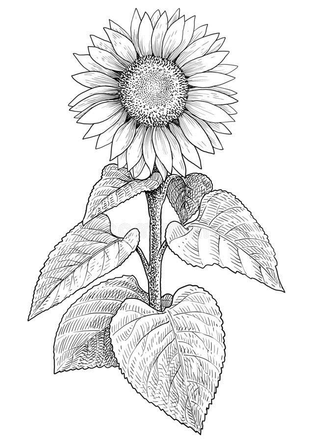 how to draw sunflowers sunflower drawing simple at getdrawings free download how draw sunflowers to