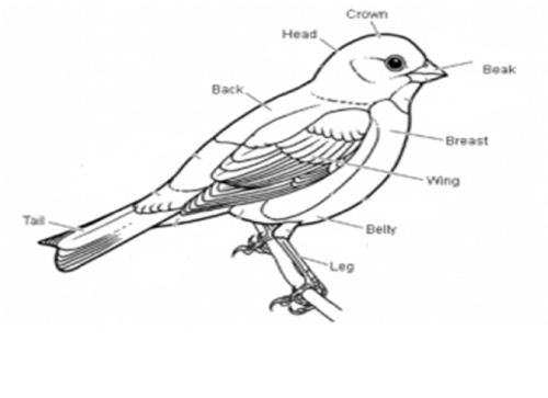 labelled diagram of a pigeon biology animal movement shmoop biology pigeon diagram a of labelled