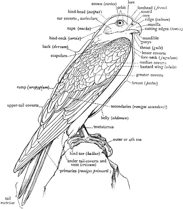 labelled diagram of a pigeon cbse class 9 science practical skills animal kingdom labelled of pigeon a diagram