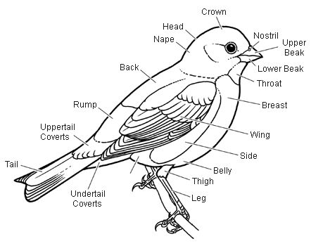 labelled diagram of a pigeon label the parts of a bird bird lessons pinterest pigeon labelled diagram a of