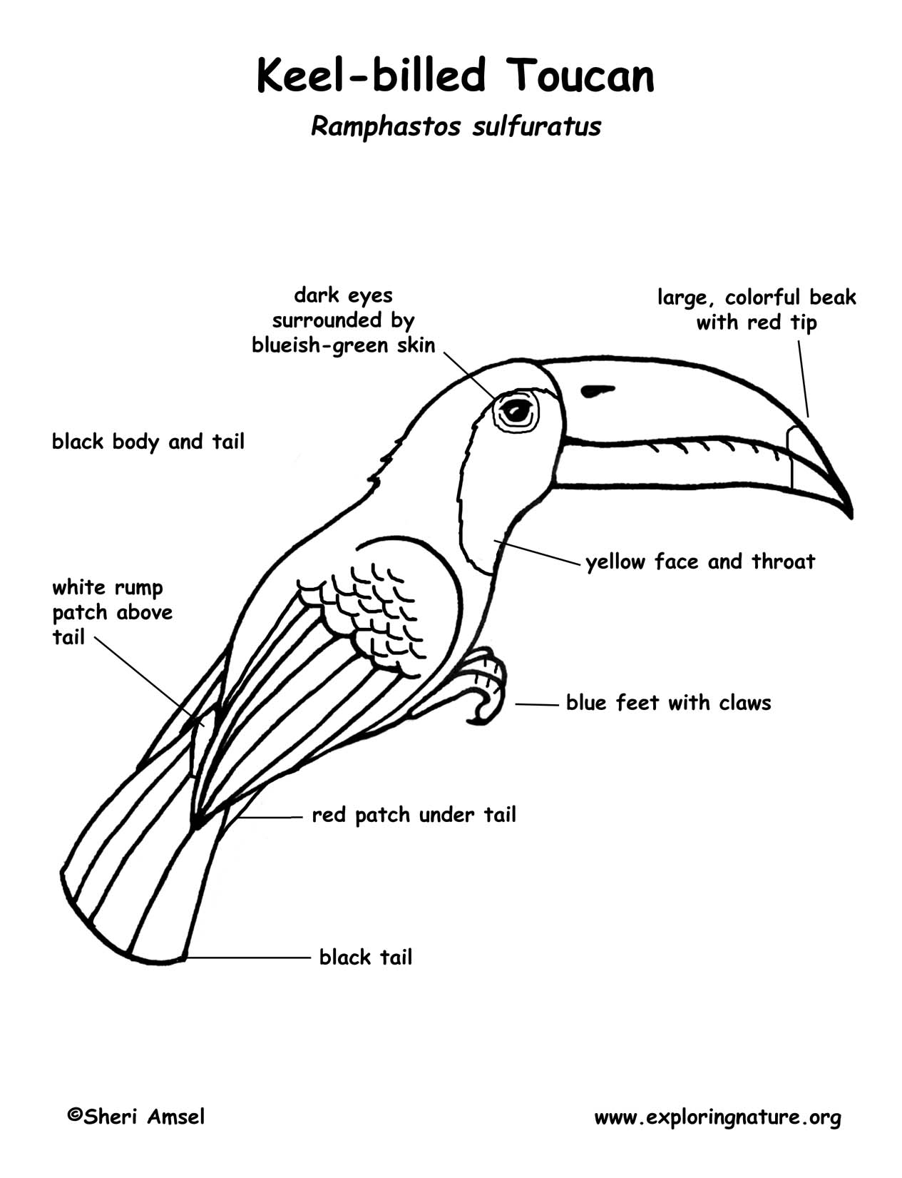 labelled diagram of a pigeon labelled diagram of a pigeon a labelled of pigeon diagram