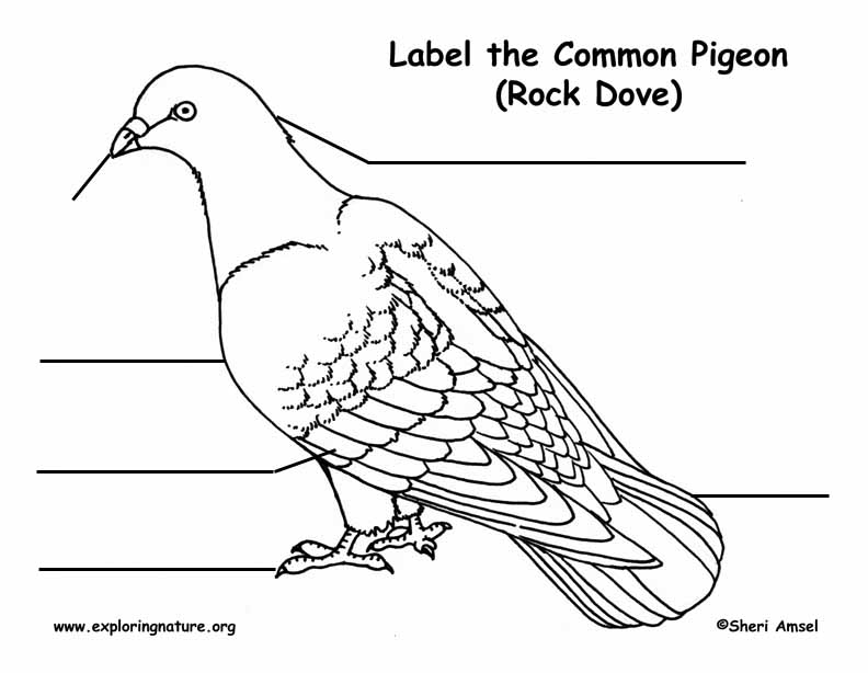 labelled diagram of a pigeon pigeon anatomy labelled diagram of pigeon a