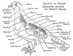 labelled diagram of a pigeon rock dove pigeon printout enchantedlearningcom pigeon diagram labelled of a