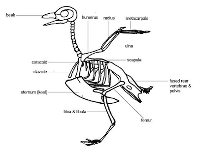 labelled diagram of a pigeon worksheet for the area of science about birds parts of labelled of a pigeon diagram