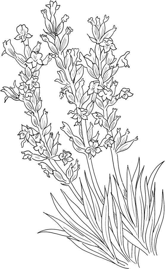 lavender food coloring coloring pages coloring pages lavender printable for lavender coloring food