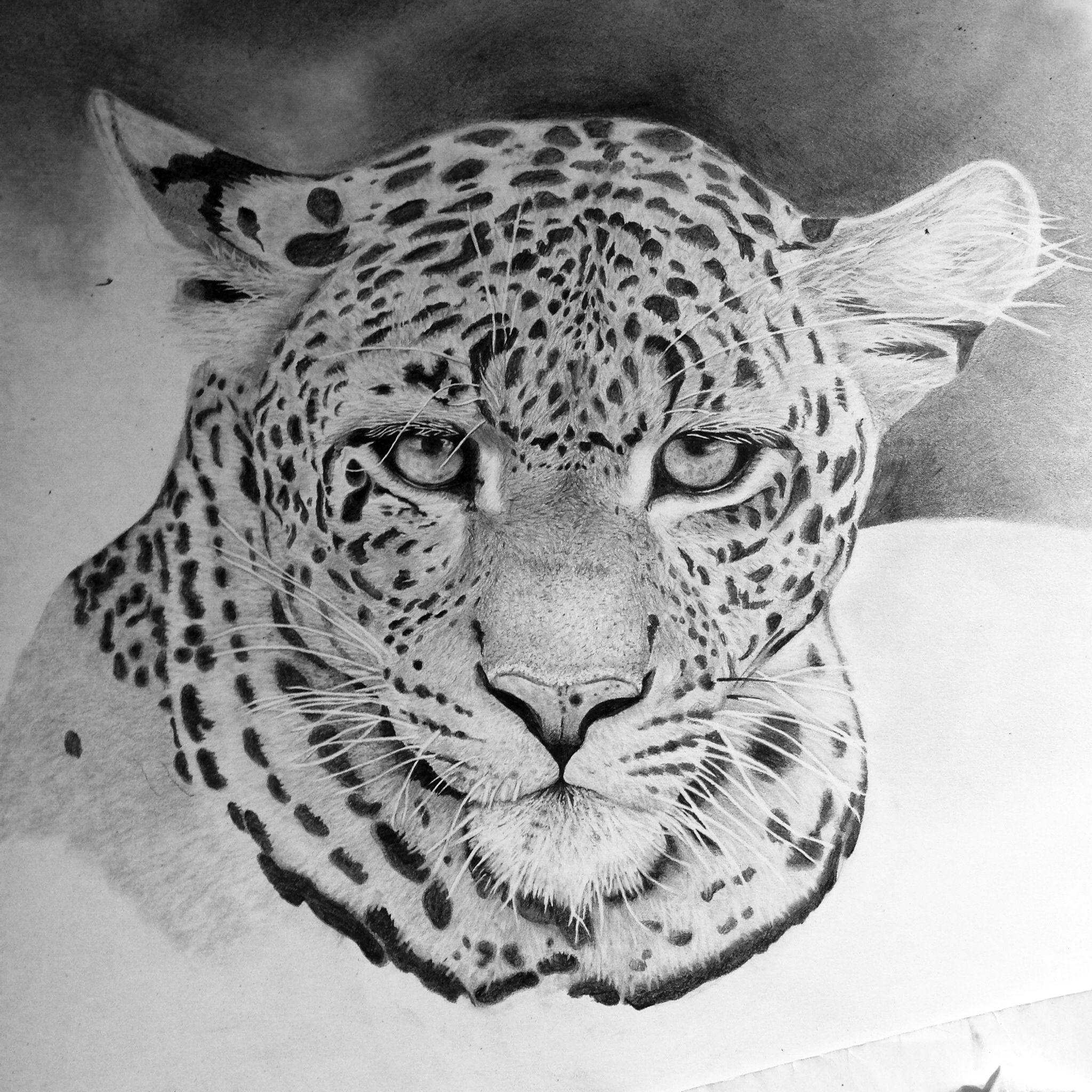 leopard drawings 49 best images about snow leopard art from fans on drawings leopard
