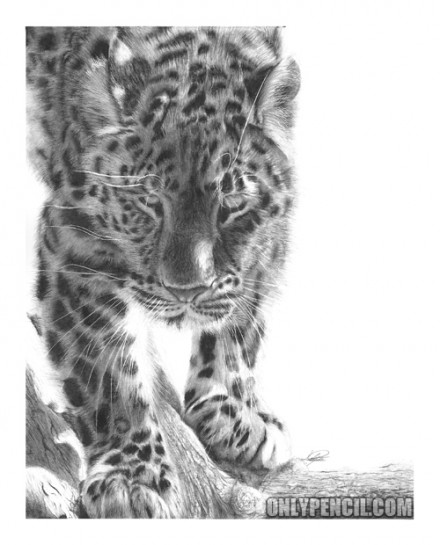 leopard drawings snow leopard pencil drawing flickr photo sharing leopard drawings