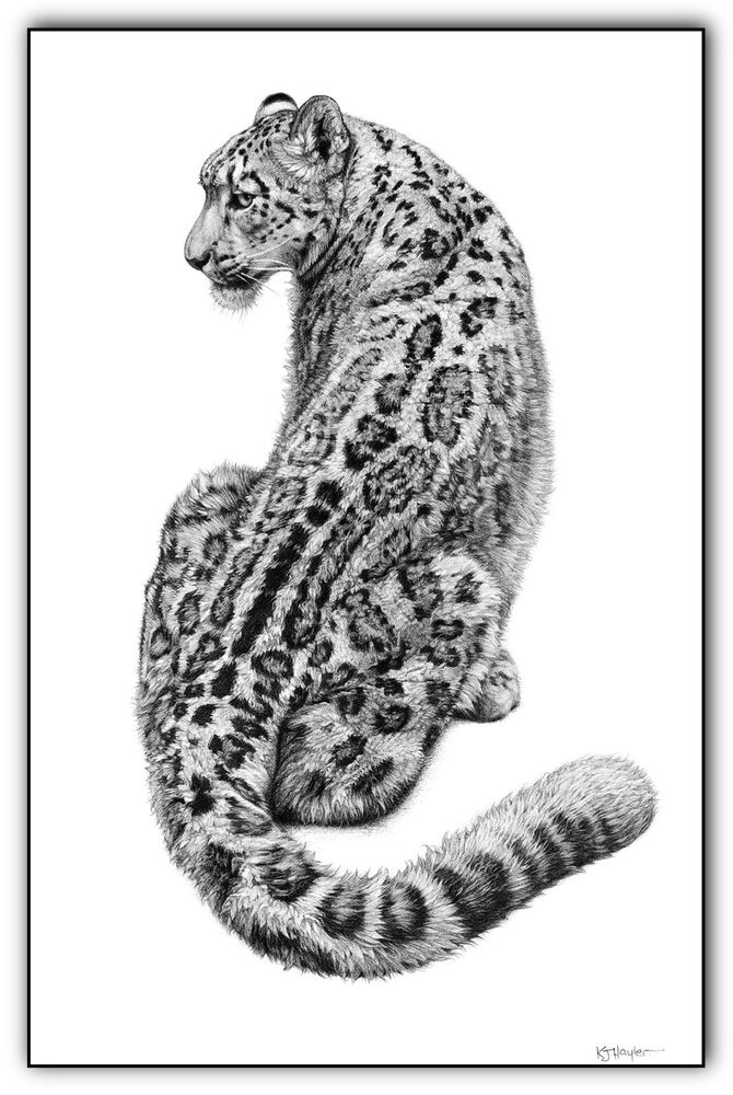leopard drawings snow leopard pencil graphite print a4 a3 signed by leopard drawings