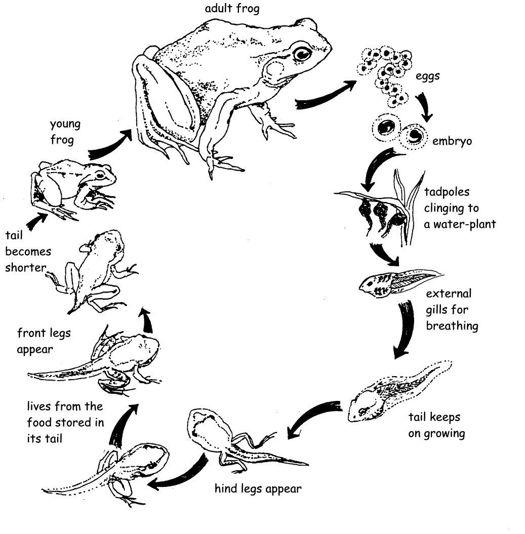 life cycle of a frog printable 13 frog life cycle resources and printables teach junkie printable frog cycle life of a