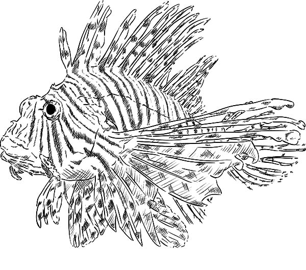 lionfish coloring page lionfish coloring page at getdrawings free download lionfish page coloring