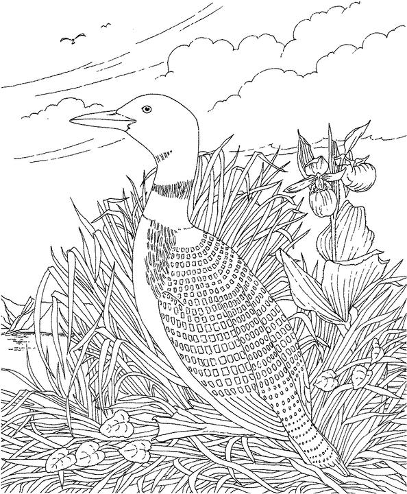 loon pictures printable common loon coloring page at getcoloringscom free loon pictures printable