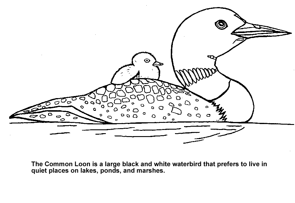 loon pictures printable common loon coloring page free printable coloring pages pictures loon printable