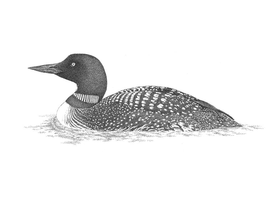 loon pictures printable loon common loon pictures printable