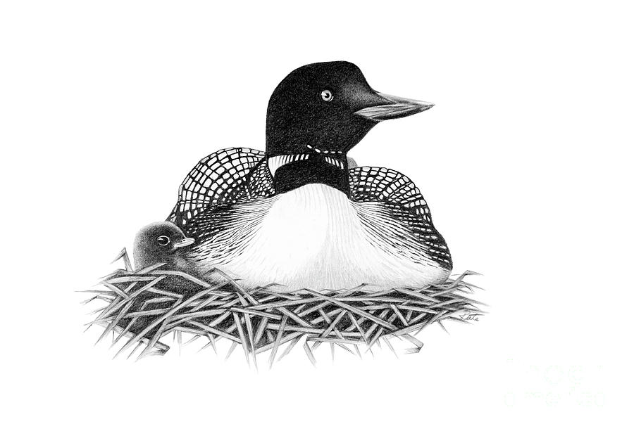 loon pictures printable nesting loon drawing by bryan knudsen printable loon pictures