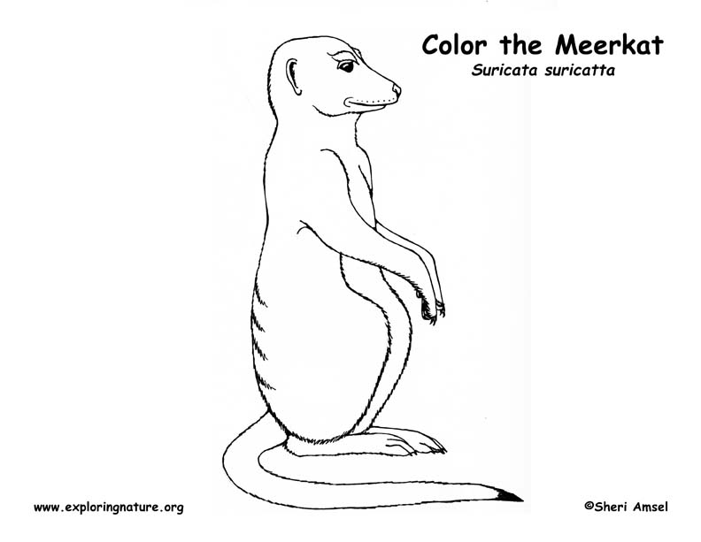 meerkat colouring pages merkat free colouring pages meerkat pages colouring