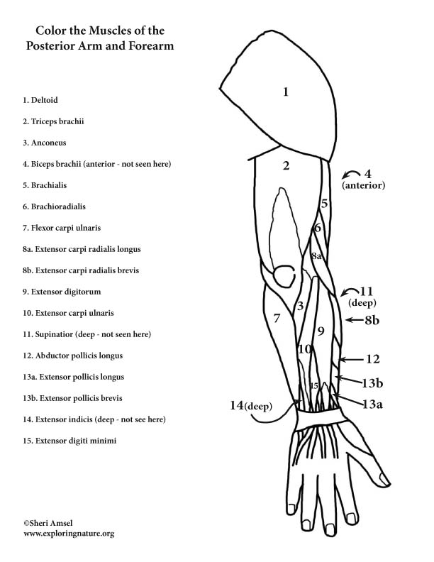 muscle coloring pages anatomy muscle coloring worksheet coloring pages muscle pages coloring
