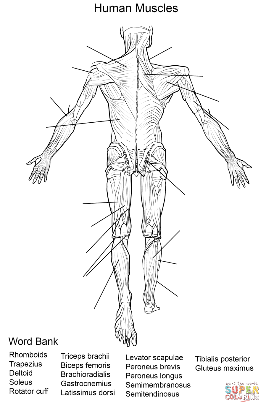 muscle coloring pages human muscles front view worksheet coloring page free pages muscle coloring
