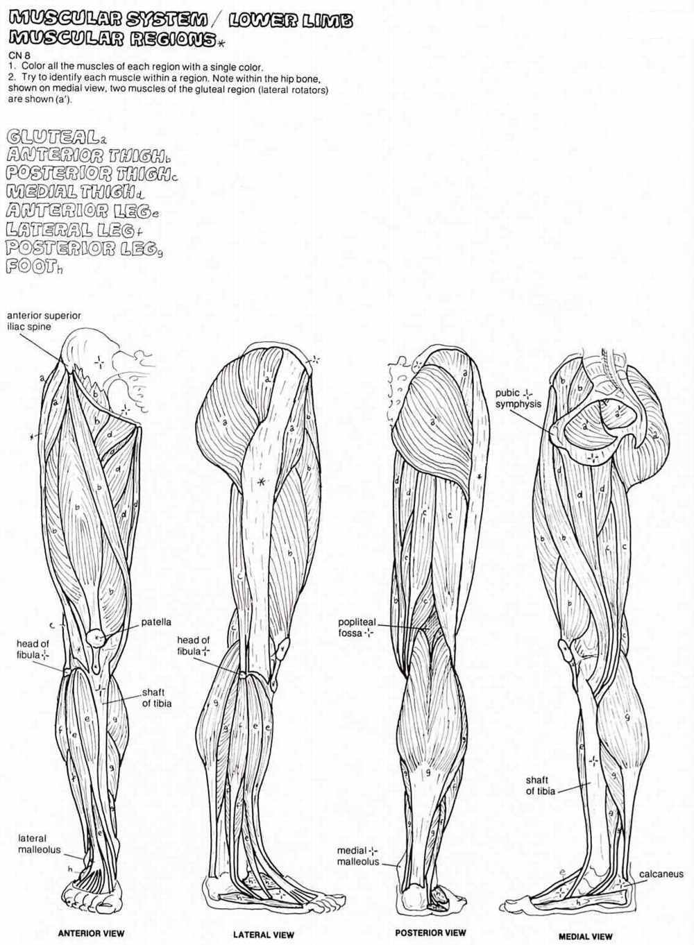 muscle coloring pages muscular system coloring pages free food ideas muscle pages coloring