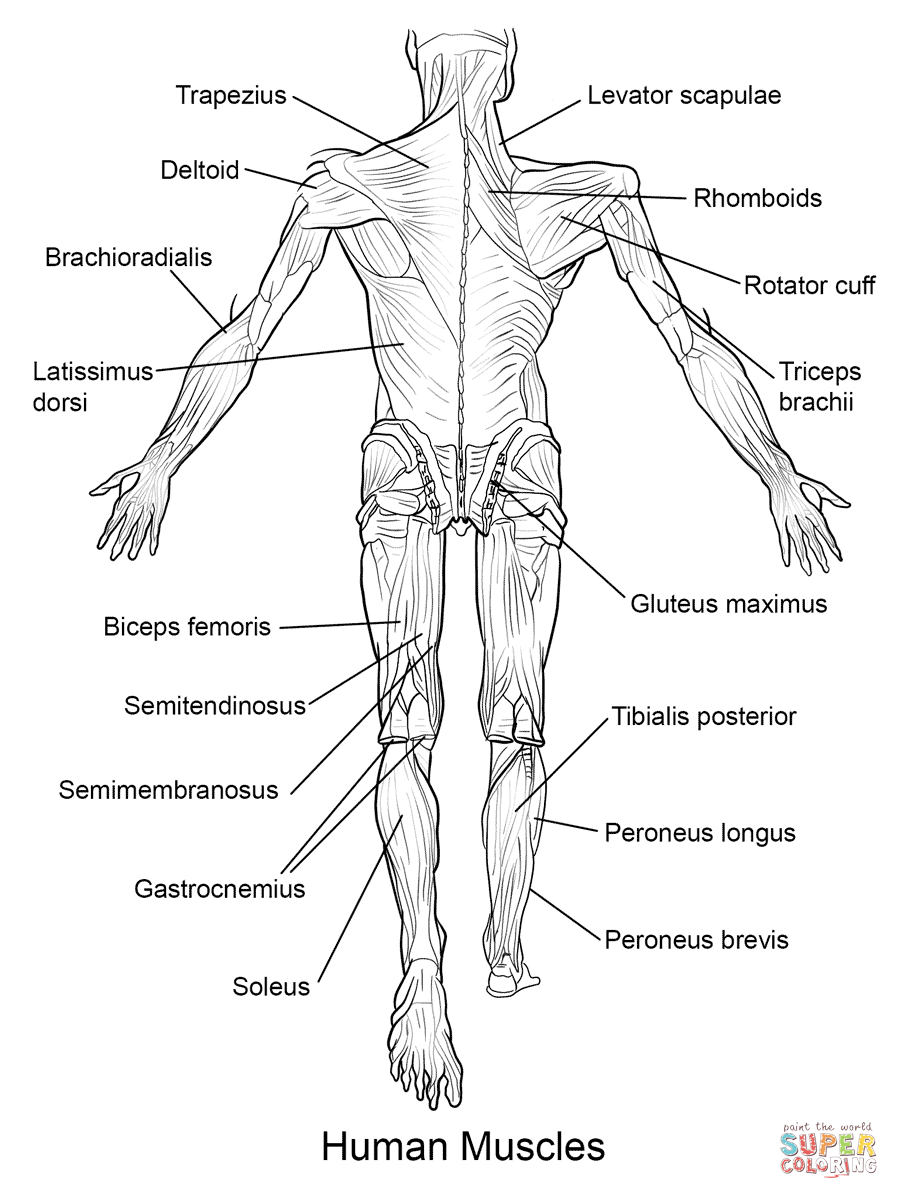 muscle coloring pages muscular system drawing at getdrawings free download coloring pages muscle