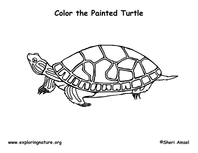 painted turtle coloring page painted turtles climbing coloring page free turtle turtle painted page coloring