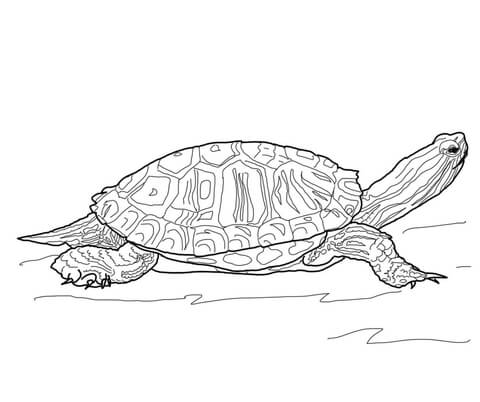 painted turtle coloring page terrapin coloring pages free coloring pages painted page turtle coloring