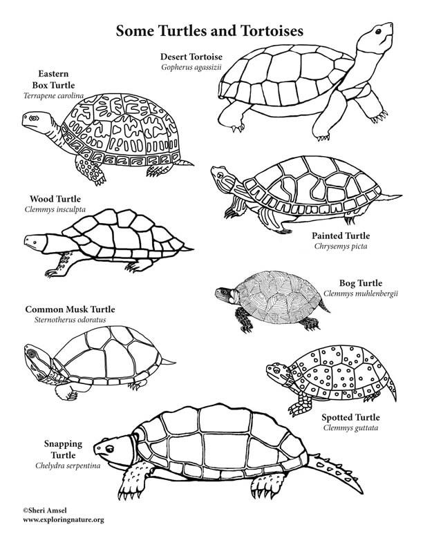 painted turtle coloring page turtle printable coloring etsy printable coloring coloring painted turtle page