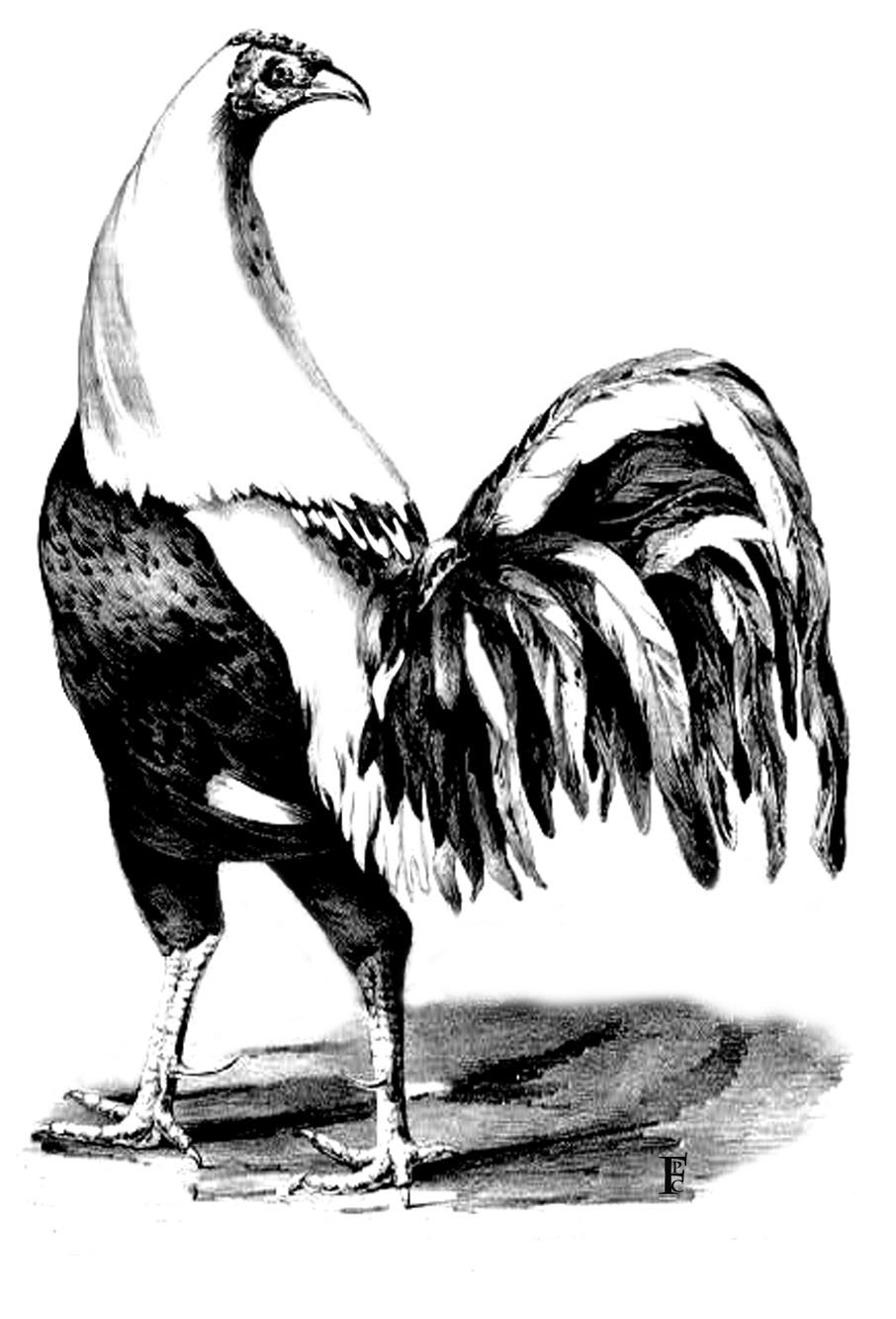 picture of a rooster to color chicken coloring pages best coloring pages for kids picture a of to rooster color