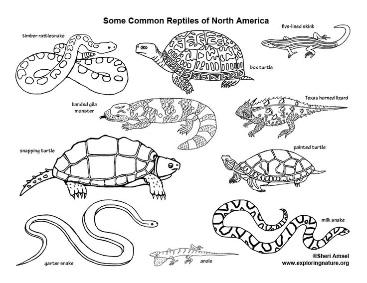 pictures of reptiles to color learn about reptiles on exploringnatureorg coloring of color reptiles to pictures